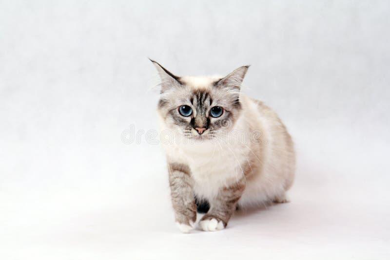 Birma cat. Birma kitty with white background stock photos