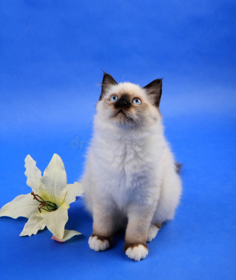 Birma cat. Thinking about something stock images