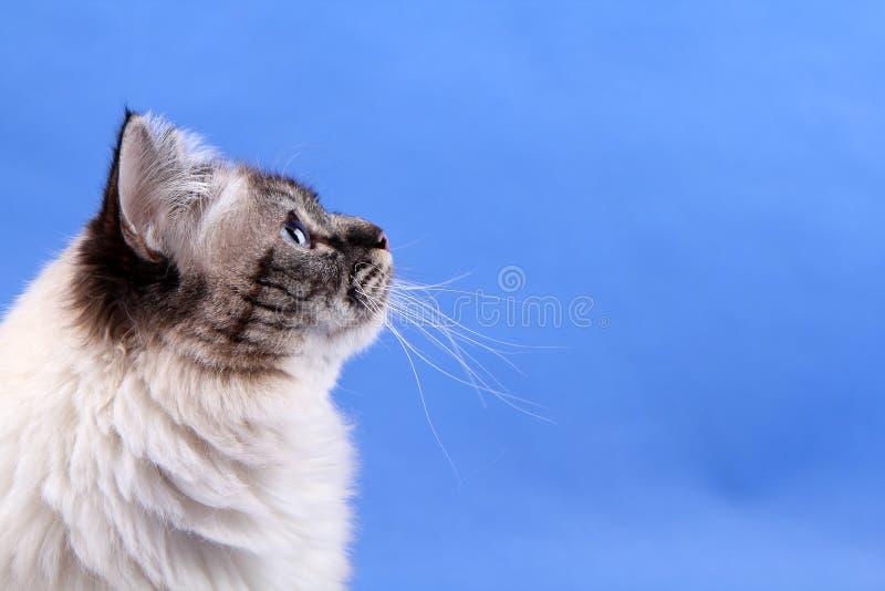 Birma cat. Thinking about something stock photography