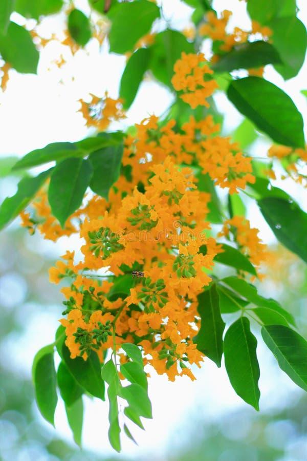Birma padauk kwiaty zdjęcia royalty free