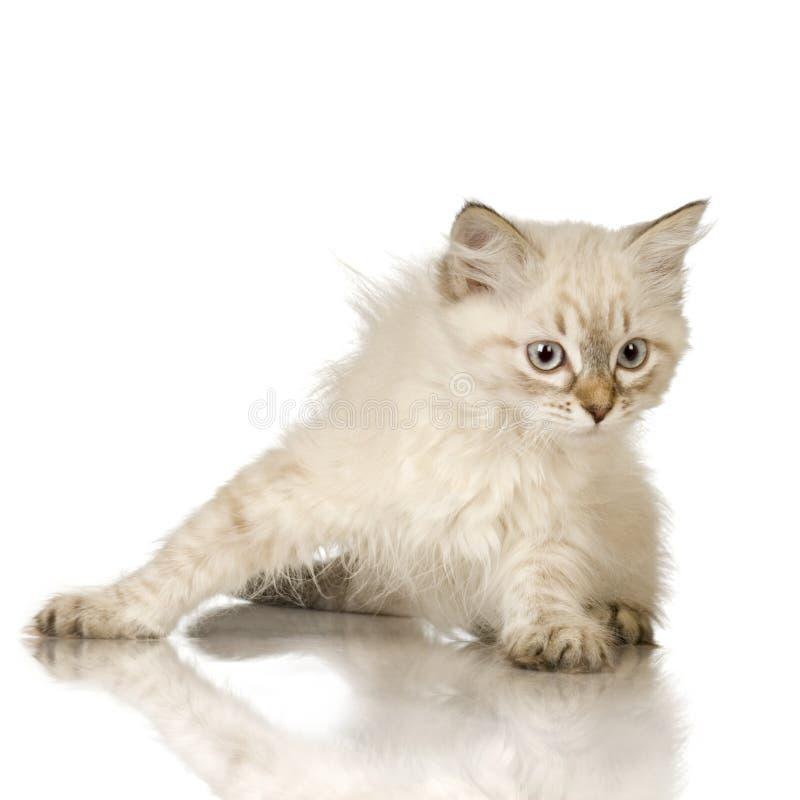 birman蓝色小猫点平纹 库存照片