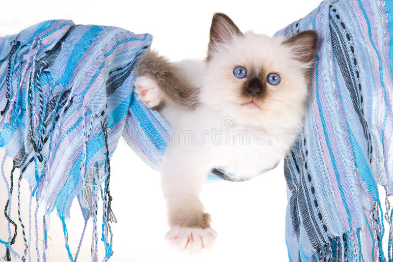Download Birman μπλε γατάκι αιωρών αρκε&tau Στοκ Εικόνα - εικόνα από μάτια, μέσα: 13176951
