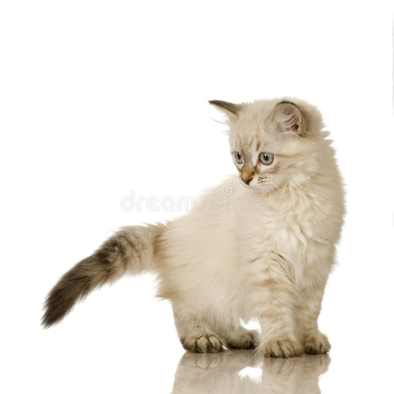 birman σημείο γατακιών blu τιγρέ στοκ εικόνες