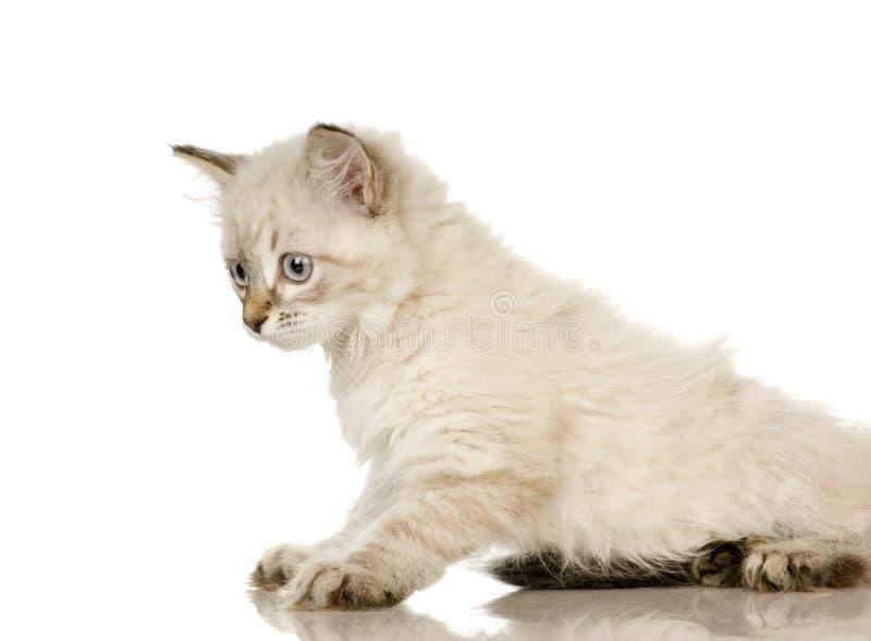 birman σημείο γατακιών blu τιγρέ στοκ εικόνες με δικαίωμα ελεύθερης χρήσης
