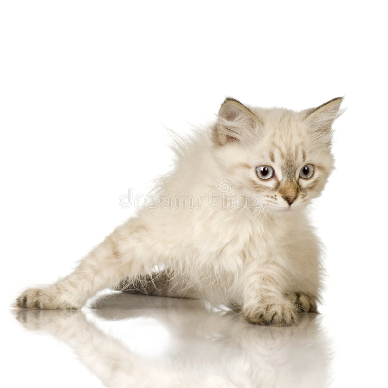 birman голубой tabby пункта котенка стоковое фото