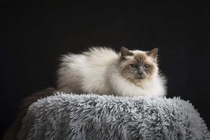 birman кот стоковое изображение rf