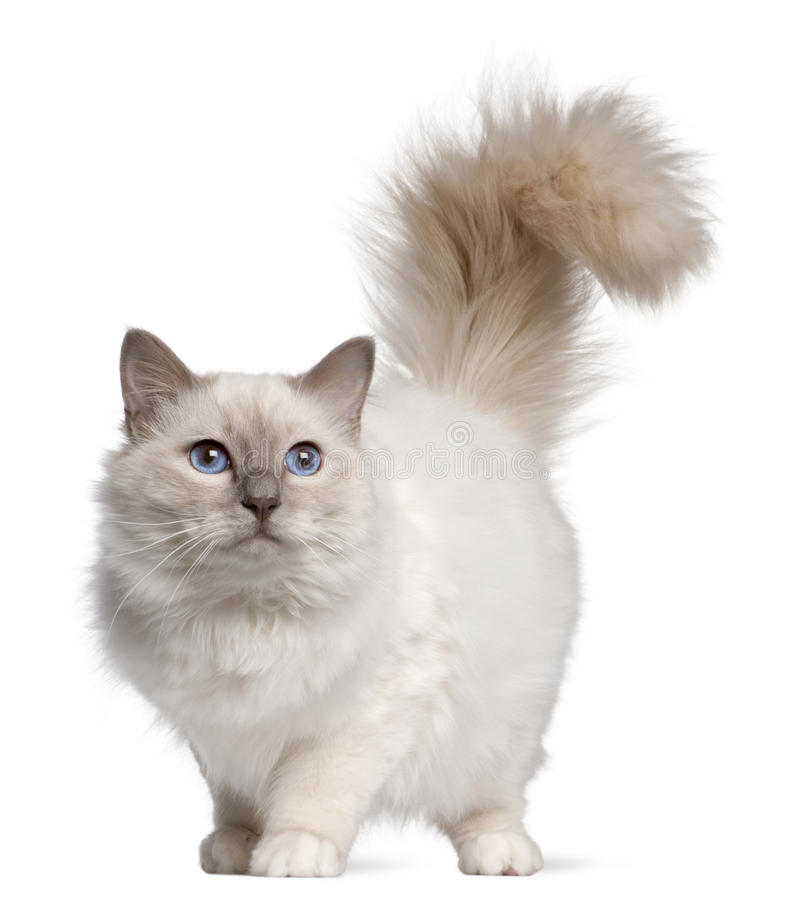 Birman cat, 11 months old, standing stock photo