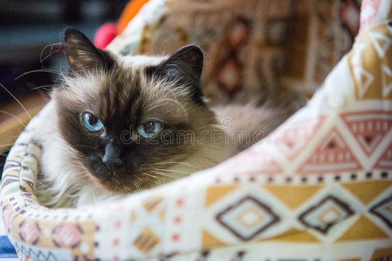 Birman cat in a basket. Birman cat sitting in pet basket stock photos