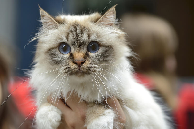 Birman cat. Being held at cat show royalty free stock photo