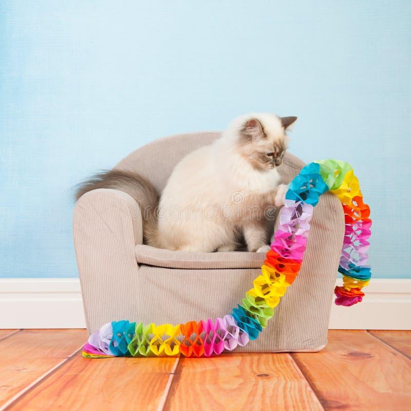 Birman cat birthday. Portrait Birman cat at birthday royalty free stock image