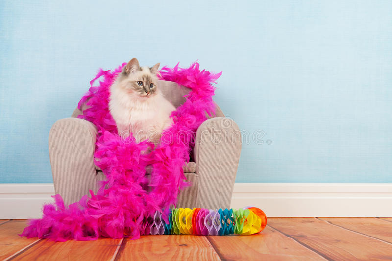 Birman cat birthday. Portrait Birman cat at birthday royalty free stock photo