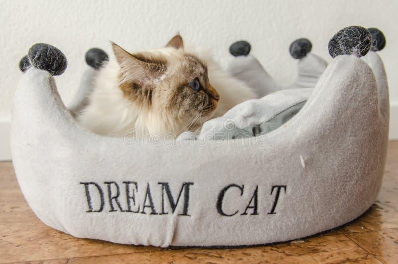 Birman cat. Burmese cat sitting in her basket stock image
