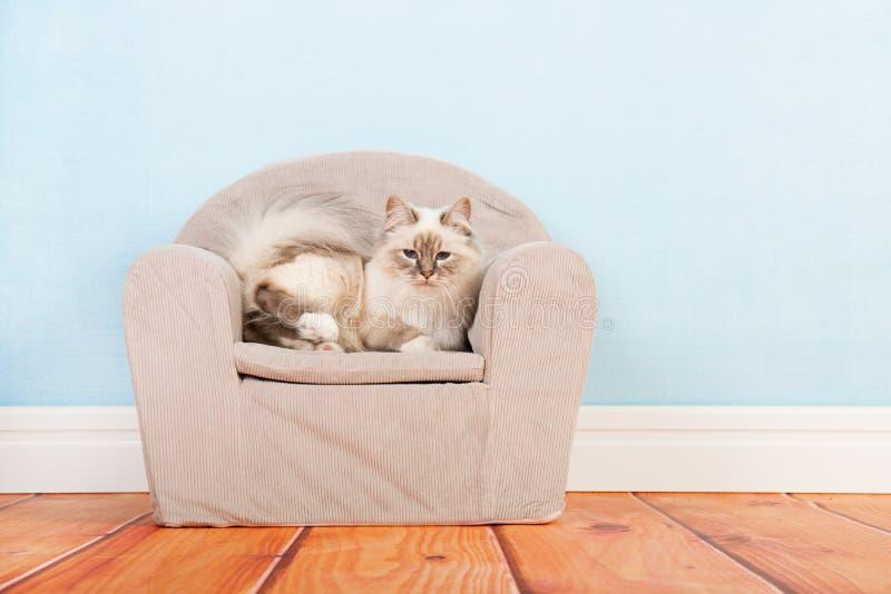 Birman cat in chair. Portrait Birman cat in little chair stock photography