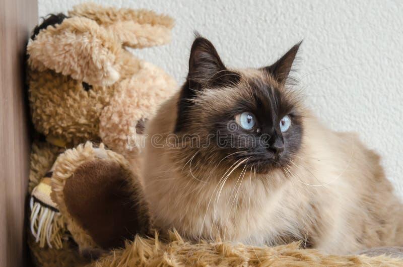 Birman cat. Lies down on a soft blanket royalty free stock photos