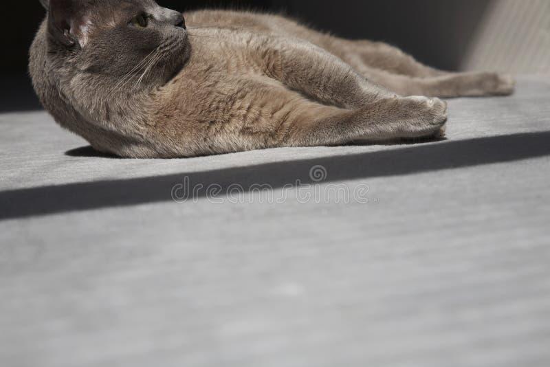 Birman Cat Lying On Carpet image stock