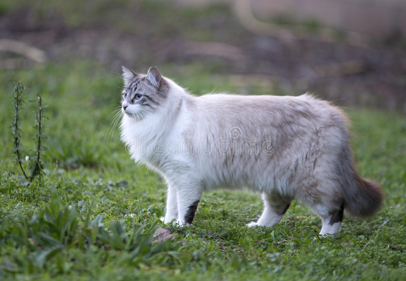 Birman cat in nature. Beautiful birman cat in the nature stock image