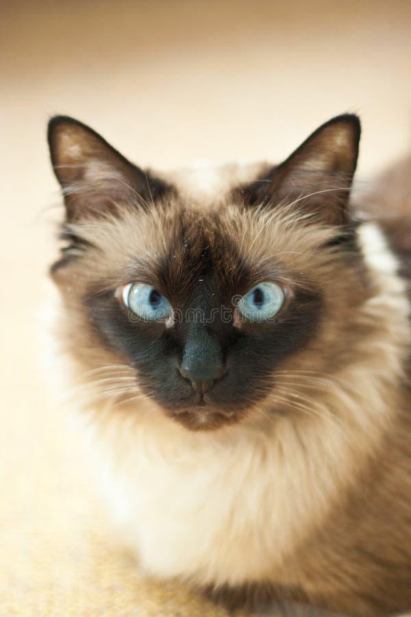 Birman cat portrait stock images