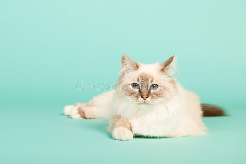 Birman cat. Portrait Birman cat on green background royalty free stock image