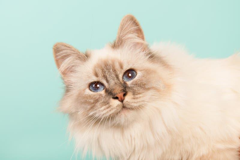 Birman cat. Portrait Birman cat on green background royalty free stock images
