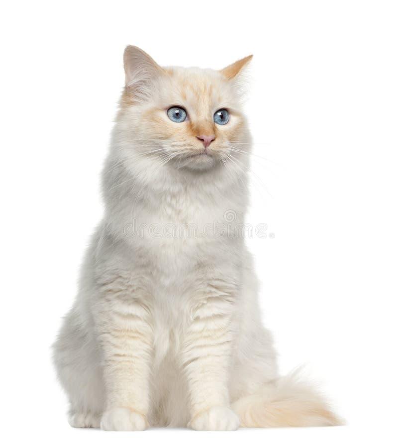 Birman cat, sitting