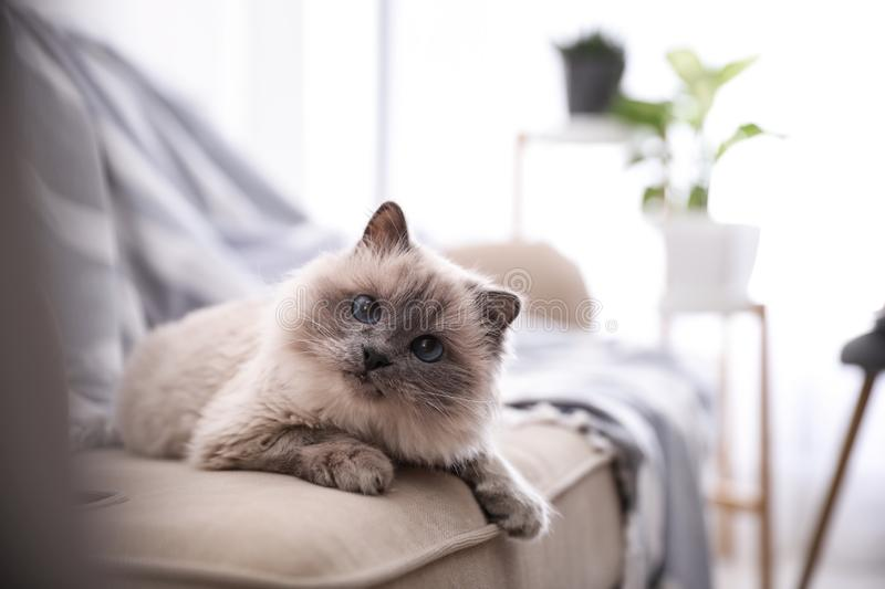 Birman cat on sofa at home. Cute pet stock image