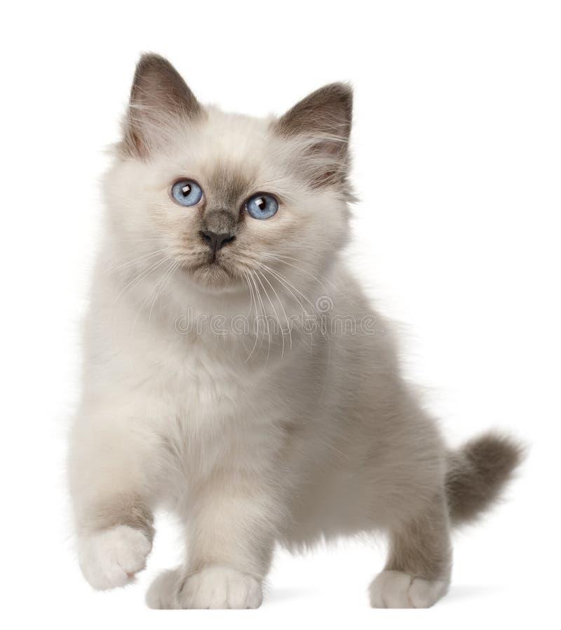 Birman Kitten, 3 Months Old, Standing Royalty Free Stock Photos