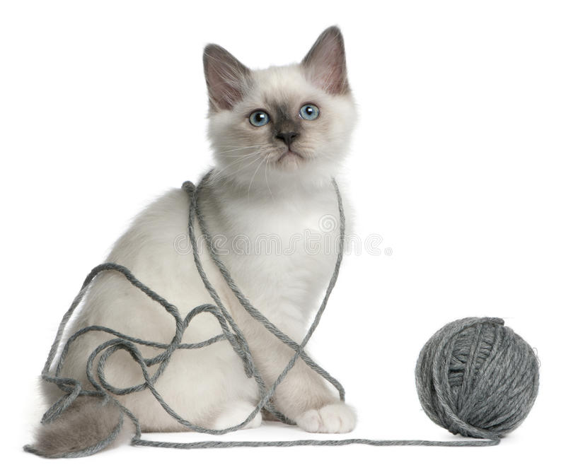 Birman Kitten playing with a ball yarn stock photos