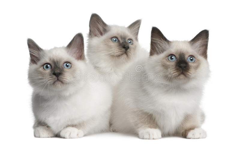 Download Birman Kittens, 2 Months Old, Sitting Stock Image - Image: 16409023