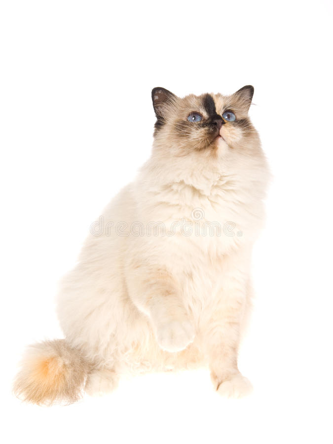 Birman Tortie With Raised Paw On White Background Stock Photos