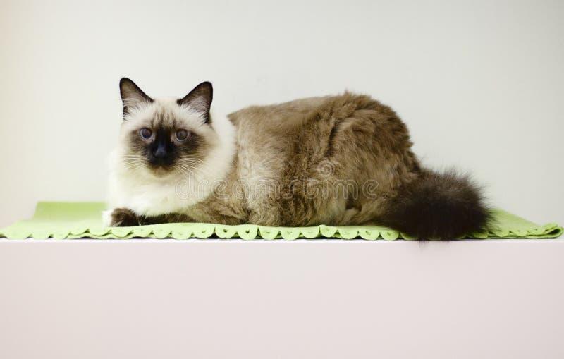 Birmanese cat royalty free stock photo