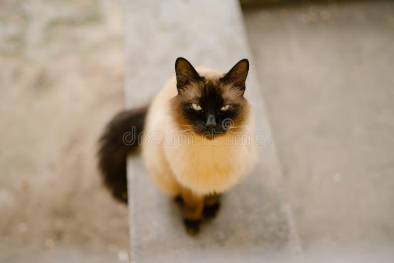 Birmanese cat royalty free stock photos