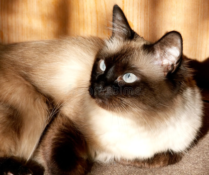 Birmanese cat in sun royalty free stock photo
