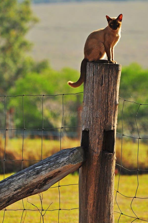 Birmanische Bauernhofkatze, die oben auf Zaunposten sitzt stockfoto