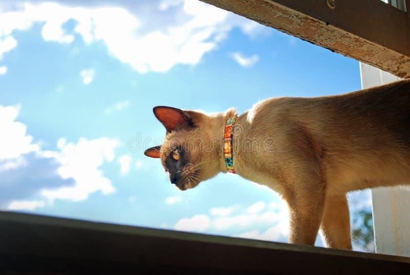 Birmanische Haustierkatze, die aus Hauptfenster heraus klettert und schaut lizenzfreie stockfotos