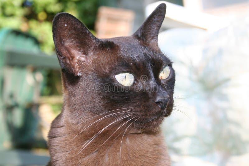 Birmanische Katze stockfoto