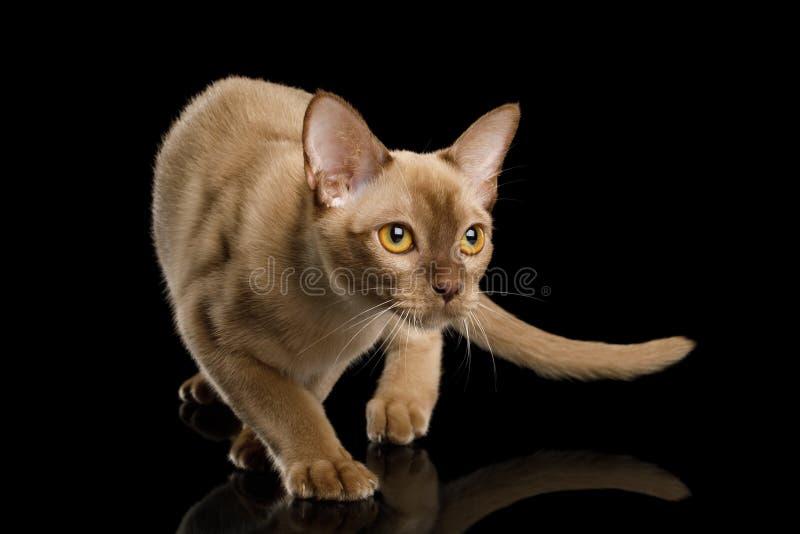 Birmanische Katze lokalisiert auf schwarzem Hintergrund lizenzfreies stockbild