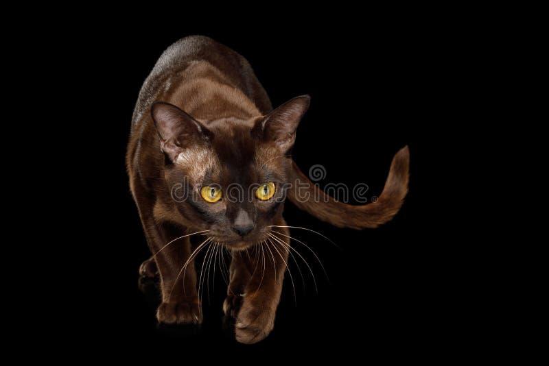 Birmanische Katze lokalisiert auf schwarzem Hintergrund stockbild