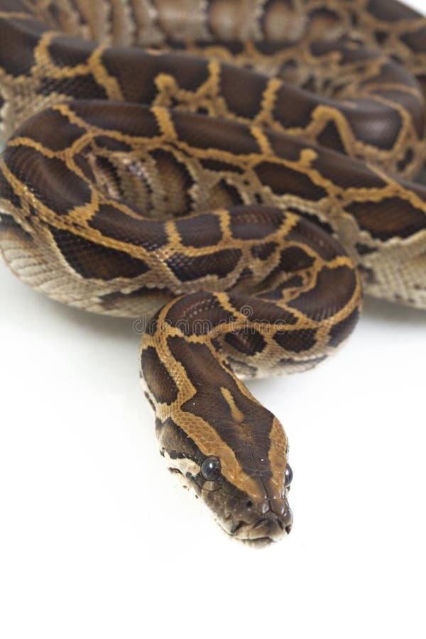 Birmanische Pythonschlange, Pythonschlange molurus bivittatus, lizenzfreie stockfotografie