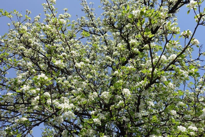 Birne in voller Blüte gegen den Himmel lizenzfreie stockbilder