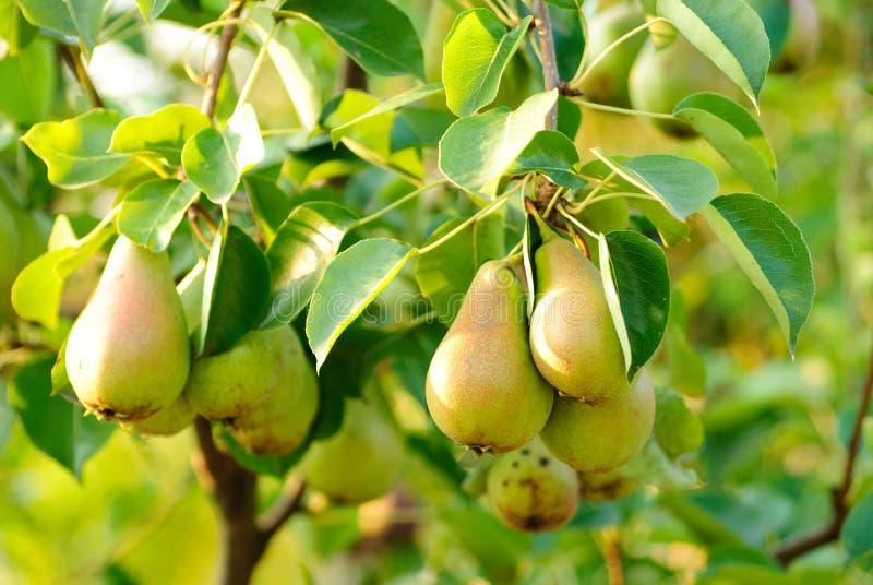 Birnen auf Baum stockfotografie