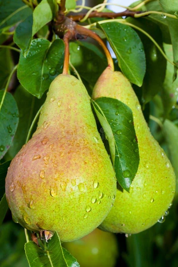 Birnen auf Baum lizenzfreie stockfotografie