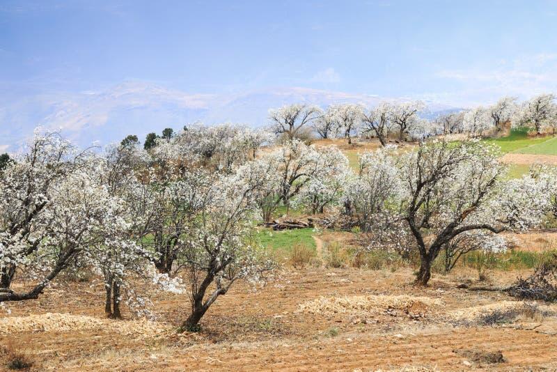 Birnen-Bäume in voller Blüte nahe dem Dorf auf Heqing, Yunnan in China lizenzfreies stockbild