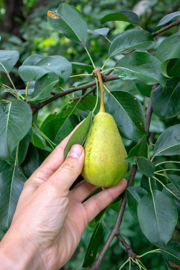 Birnen, die draußen auf einer Niederlassung mit grünen Blättern im Garten im Sommer wachsen Eine Mann ` s Hand, die eine Frucht a lizenzfreie stockbilder