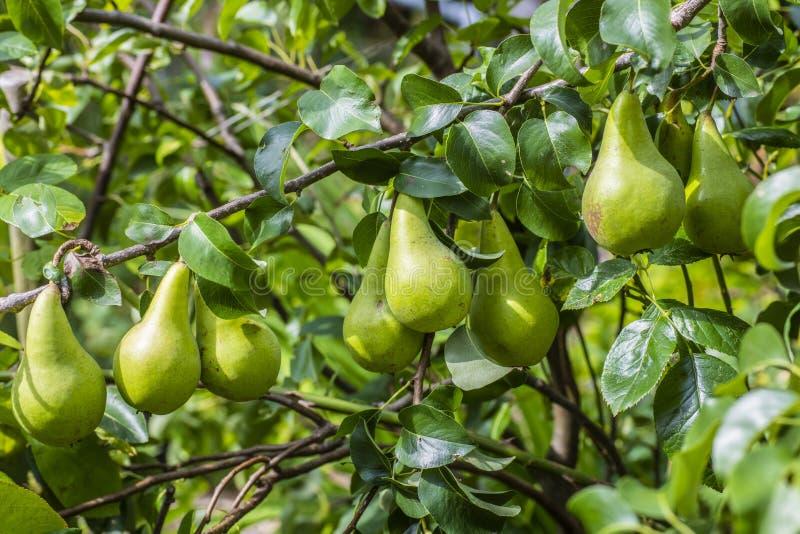 Birnen-Frucht-Ernte fast bereit zur Ernte lizenzfreie stockbilder