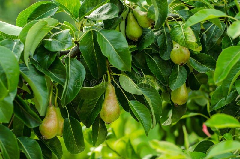 Birnen und Birnenbaum stockbilder