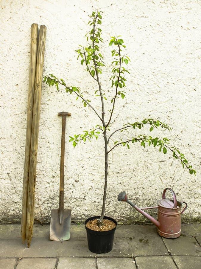 Birnenbaum bereit zum Pflanzen lizenzfreie stockfotos