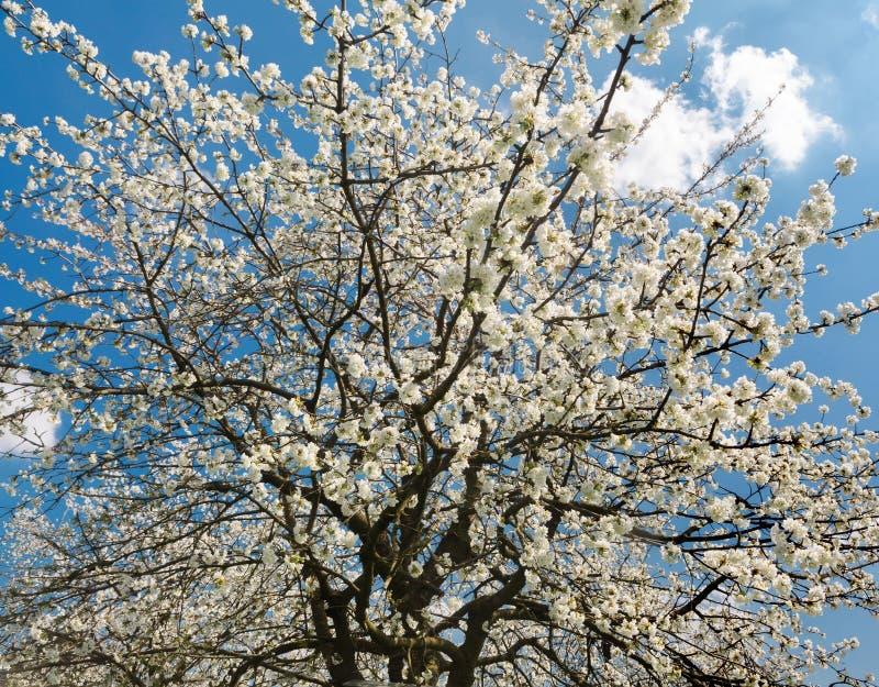 Birnenbaum in voller Blüte lizenzfreies stockfoto