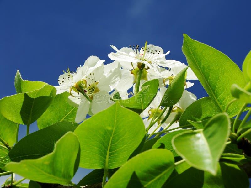 Birnenbaumblüte lizenzfreies stockfoto