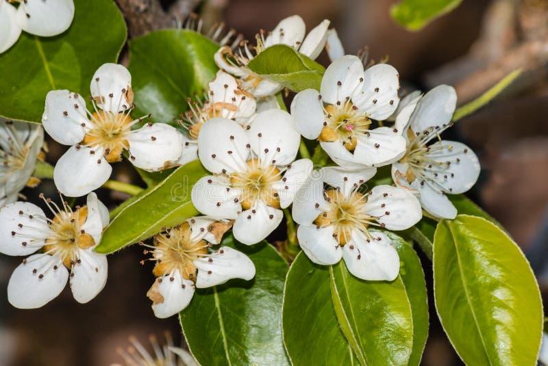 Birnenbaumblumen in der Blüte stockfoto