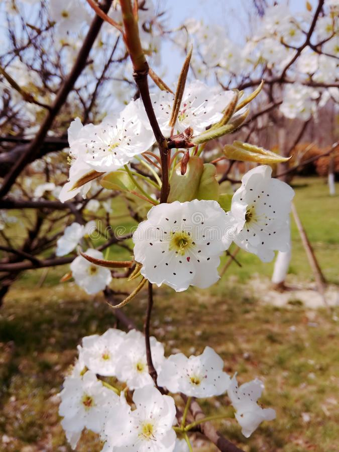 Birnenblüte stockfotografie